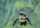 animali-aprile-pinguino