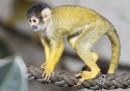 animali-aprile-saimiri-scimmia-scoiattolo