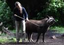 animali-aprile-tapiro