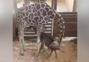 La giraffa April, che migliaia di persone seguivano in diretta, ha partorito