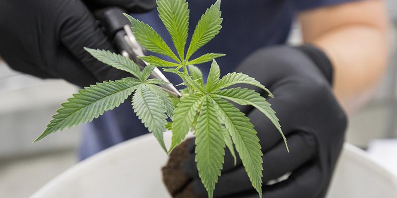 canada-marijuana