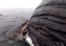 Il raro video di uno squalo che mangia la carcassa di una balena