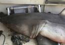 Uno squalo bianco che ti salta nella barca «sono cose che capitano»