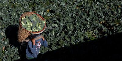 I broccoli salveranno i diabetici?