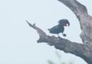 Questi pappagalli fanno i batteristi per rimediare una compagna
