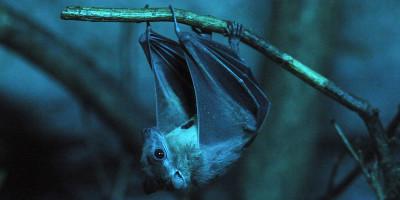 I pipistrelli sono animali speciali e pericolosi