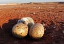 Perché le uova cambiano forma da specie a specie
