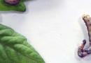 Basta una pianta indigesta per trasformare i bruchi in cannibali