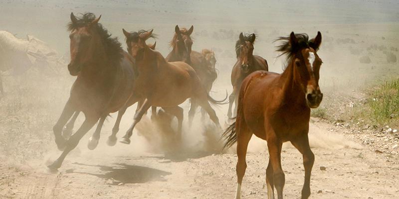 cavalli-west