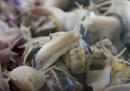 Come si raccoglie la bava di lumaca
