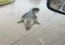 Fra i problemi causati dall'uragano Harvey c'è anche quello degli alligatori