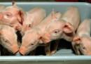 Siamo più vicini ai trapianti di organi di maiali negli esseri umani