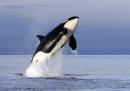 Anche le orche vanno in menopausa