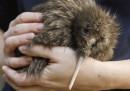 Come si salva un kiwi