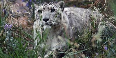 I leopardi delle nevi non sono più così tanto in via di estinzione