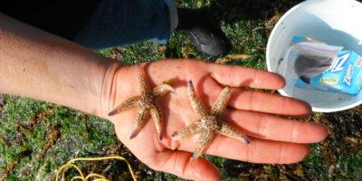 Lo tsunami del 2011 ha fatto arrivare 289 animaletti marini giapponesi negli Stati Uniti