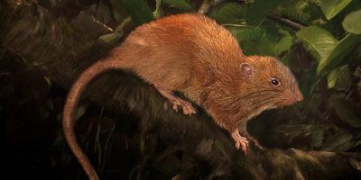 Abbiamo scoperto un nuovo ratto gigante