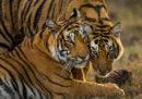 La Cina ha parzialmente cancellato il divieto di commerciare in prodotti legati alla caccia di tigri e rinoceronti