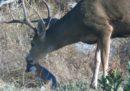Perché un cervo dovrebbe leccare una volpe?