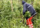 I Paesi Bassi proveranno a legalizzare la coltivazione della marijuana