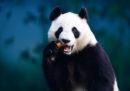 Che verso fa un panda quando cerca un partner?