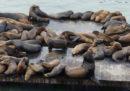 Una spiaggia di San Francisco è stata chiusa perché un leone marino ha morso due persone