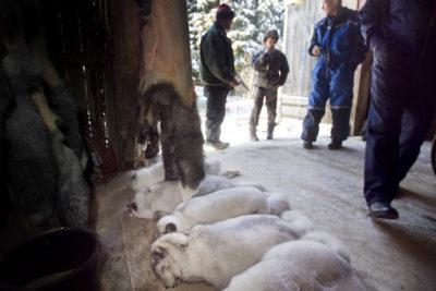 La Norvegia ha vietato l'allevamento di animali da pelliccia