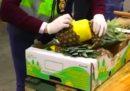 Le polizie di Spagna e Portogallo hanno sequestrato 745 chilogrammi di cocaina, nascosta dentro una partita di ananas