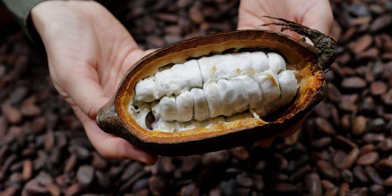 Cioccolato OGM: Mars punterà su cacao modificato
