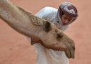 C'è uno scandalo dromedari in Arabia Saudita