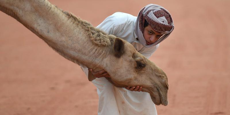 Concorso di bellezza per cammelli: 12 concorrenti squalificati per uso di botox