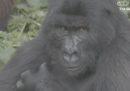 """Negli Stati Uniti si è parlato per un giorno di un """"canale dei gorilla"""" che non esiste"""