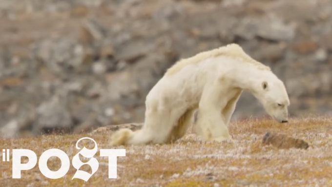 Forse alla fine non è stato il cambiamento climatico a uccidere quest'orso polare