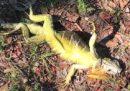 In Florida cadono iguane congelate dagli alberi