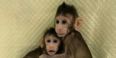 I primi due macachi clonati col metodo Dolly