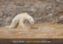 L'orso polare di quel video virale forse non è morto per il cambiamento climatico