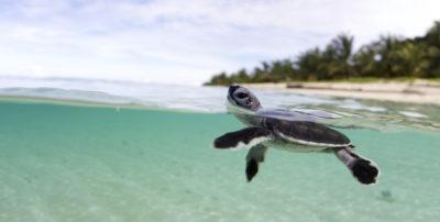 La resistenza delle giovani tartarughe marine