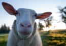 Questo embrione ibrido pecora-uomo un giorno potrebbe risolvere il problema dei trapianti