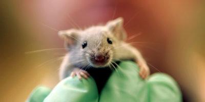 Per aiutare la ricerca bisogna rendere gli animali da laboratorio più felici?