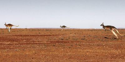 L'Australia ha un problema con i canguri, ma non si capisce quale