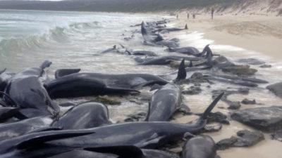 150 balene arenate su una spiaggia in Australia