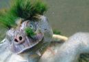 Buona notizia: in Australia c'è una buffa tartaruga coi capelli verdi. Cattiva notizia: è in via di estinzione