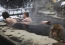 Perché i macachi giapponesi fanno il bagno nelle piscine termali