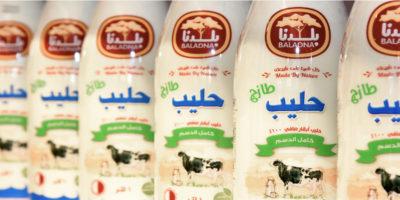 Le mucche del Qatar