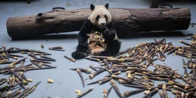 Questi panda stanno perdendo le macchie intorno agli occhi e non si sa perché