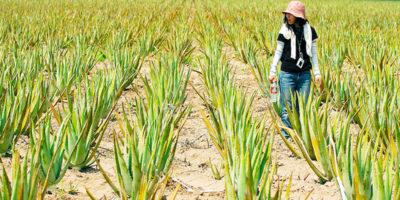 L'Aloe vera serve davvero a qualcosa?