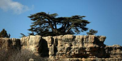 I cedri del Libano stanno scomparendo