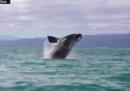 Nella baia di Wellington è apparsa una rara balena franca australe