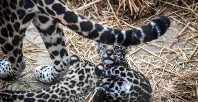 Piccoli giaguari a Parigi