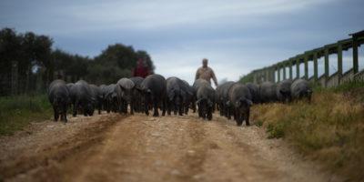 In Spagna ci sono più maiali che persone